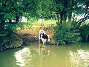 Cow drinking near North Kilworth narrowboats